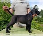 Puppy 10 Presa Canario