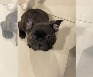 French Bulldog Puppy for sale in SHEPPTON, PA, USA