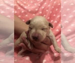 Small #7 Poodle (Toy)-Schnauzer (Miniature) Mix