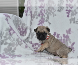 Pug Puppy for Sale in MECHANICSVILLE, Maryland USA