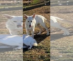 Saarloos Wolfdog Puppy for sale in MARTINSVILLE, IN, USA