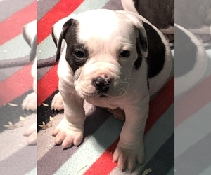 Olde English Bulldogge Puppy for sale in NEW LONDON, IA, USA