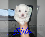 Small #1 Maltese