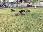 Cane Corso Puppy For Sale in NEEDLES, CA, USA