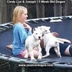 Small Photo #186 Dogo Argentino Puppy For Sale in PINEVILLE, MO, USA