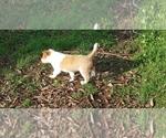 Puppy 4 Cattle Collie Dog