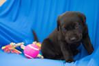 Labrador Retriever Puppy For Sale in KENT, OH, USA