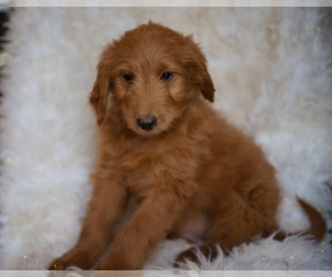 Goldendoodle-Poodle (Standard) Mix Puppy for Sale in NORTH VERNON, Indiana USA