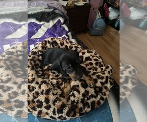Dachshund Puppy for sale in OROVILLE, CA, USA