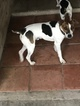 Jack Russell Terrier Puppy For Sale in VIOLET, TX,