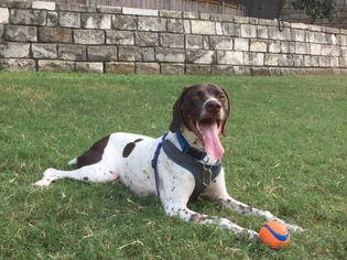 German Shorthaired Pointer Puppy For Sale in AUSTIN, TX, USA