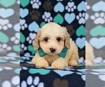 Small #5 Cavachon-Poodle (Toy) Mix