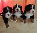 Bernese Mountain Dog Puppy For Sale in HARRISBURG, PA