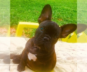 French Bulldog Puppy for sale in WEST POINT, VA, USA