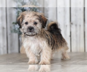 Shorkie Tzu Dog for Adoption in MOUNT VERNON, Ohio USA