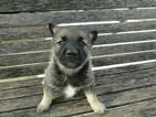 Norwegian Elkhound Puppy For Sale in HUDSON, MI, USA