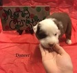 Australian Shepherd Puppy For Sale in MERIDIANVILLE, AL, USA