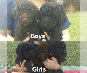 Poodle (Standard) Puppy for sale in MORGANTOWN, KY, USA