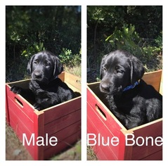 Labrador Retriever Puppy For Sale in BOWIE, TX, USA
