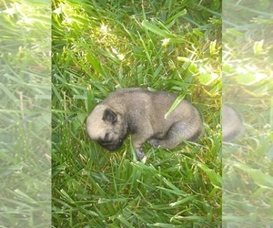 Pug Puppy for sale in FRANKTON, IN, USA