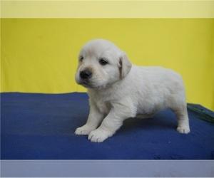 English Cream Golden Retriever Puppy for sale in CHARLOTTE, NC, USA
