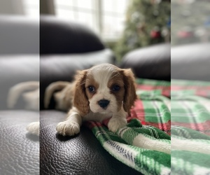 Cavalier King Charles Spaniel Puppy for sale in HILLMAN, MI, USA