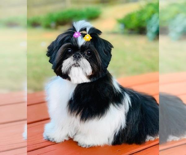 Medium Photo #3 Shih Tzu Puppy For Sale in SUGAR HILL, GA, USA