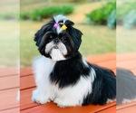 Small Photo #3 Shih Tzu Puppy For Sale in SUGAR HILL, GA, USA