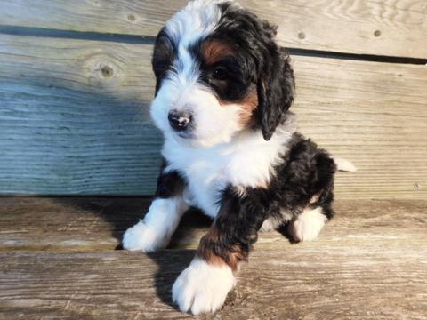 Miniature Bernedoodle puppy