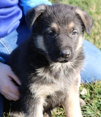 German Shepherd Dog Puppy for sale in MONTGOMERY, PA, USA