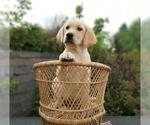 Labrador Retriever Puppy For Sale in MILLVILLE, MN, USA