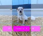 Small #6 Australian Cattle Dog
