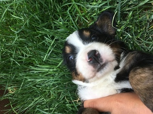 View Ad Bernese Mountain Dog Puppy For Sale Near Colorado