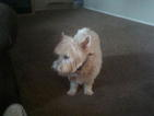 Westie up for rehoming