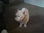 West Highland White Terrier Puppy For Sale in PORT RICHEY, FL, USA