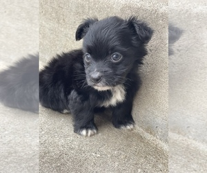 YorkiePoo Puppy for Sale in OAK LAWN, Illinois USA