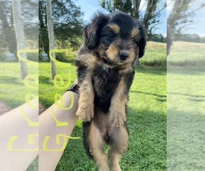 Aussiedoodle Puppy for Sale in COLUMBIA, Kentucky USA