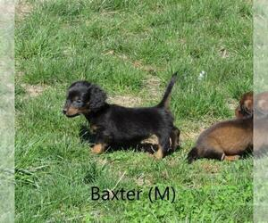 Dachshund Puppy for sale in LE MARS, IA, USA