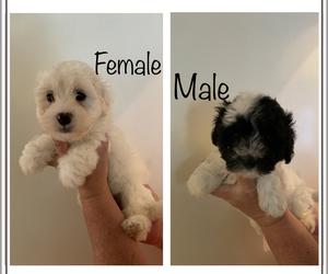 Zuchon Puppy for sale in BROWNSTOWN, MI, USA
