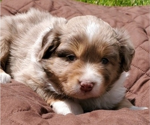 Miniature Australian Shepherd Puppy for sale in LITCHFIELD, OH, USA