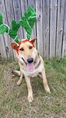German Shepherd Dog Puppy for sale in BURLESON, TX, USA