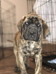 Mastiff Puppy For Sale in BATTLE GROUND, WA, USA