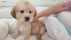 Maltipoo Puppy For Sale in LA MIRADA, CA, USA