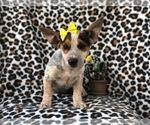 Small #12 Australian Cattle Dog-Jack Russell Terrier Mix
