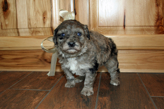 Australian Shepherd-Poodle (Toy) Mix Puppy for sale in GOSHEN, ID, USA