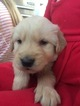 Golden Retriever Puppy For Sale in BATTLE GROUND, WA, USA
