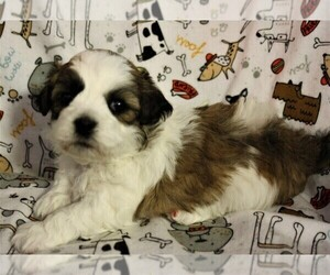 Zuchon Puppy for sale in LEBANON, OR, USA