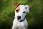 Jack Russell Terrier Puppy For Sale in ALBUQUERQUE, New Mexico,