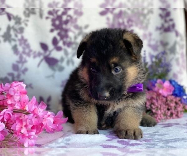 Medium Photo #1 German Shepherd Dog Puppy For Sale in LANCASTER, PA, USA
