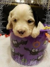 Tibetan Terrier Puppy For Sale in BETHLEHEM, PA, USA